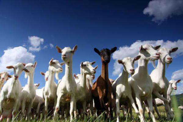 Je soutiens une agriculture saine en parrainant une chèvre, une ruche, une vache...