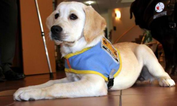 Why not give home and training for a future guide dog ?
